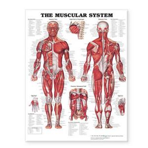 Muscular System Giant Chart, The
